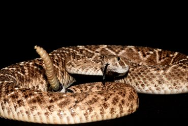 Deception: Acoustic Trick With Rattlesnake Rattles