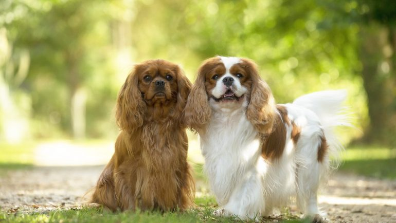 Disease risk in breeds: for some dogs, being beautiful means suffering