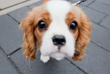 The science: The cute and risky genes: Cavalier King Charles Spaniels