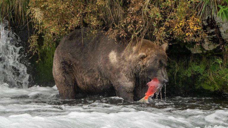 "Weird Contest Won: ""Patriarch Dickwanst"" Is Alaska's Fattest Bear"